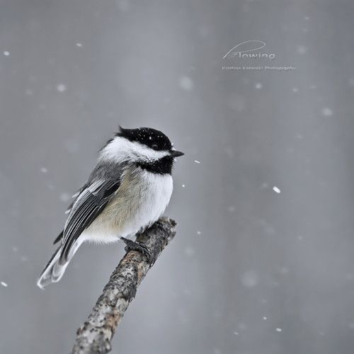 bird,winter,chickadee,little,cute-f5dcc7ebf9087b685e4ce3cfbbfaea64_h