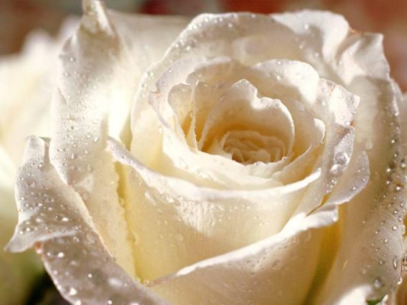 Rose-33