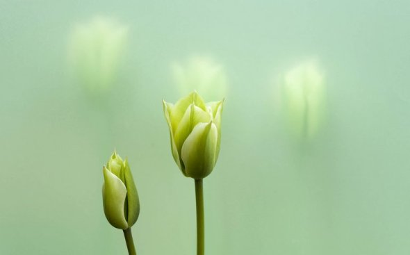 Green&YellowTulips