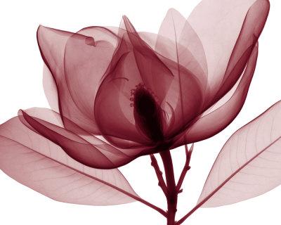 meyers-steven-n-red-magnolia-i