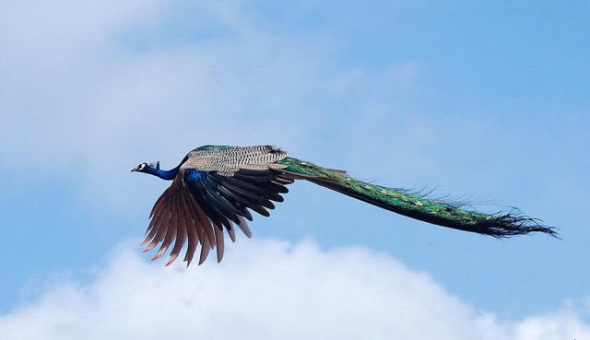 peacock-in-flight-2