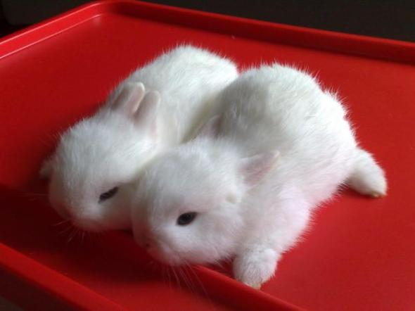 1276157608_99013686_1-Pictures-of--blue-eye-white-pure-breed-netherland-dwarf-rabbit-BEW-1276157608