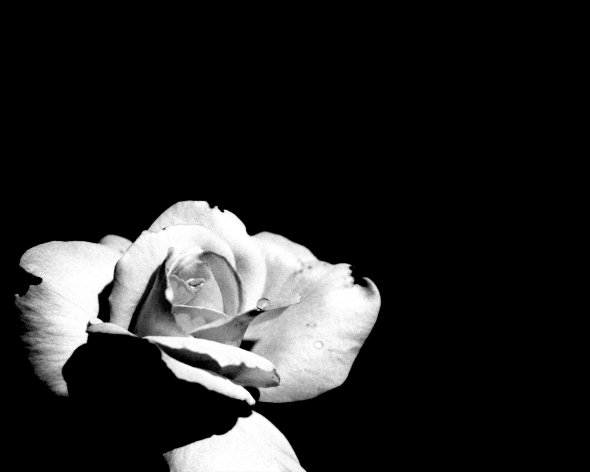 760-black-wallpapers-white-rose-wallpaper-1280x1024-205-kb