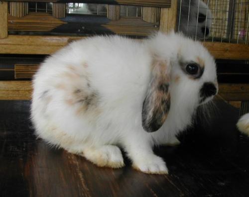 dwarf-lop-eared-rabbits