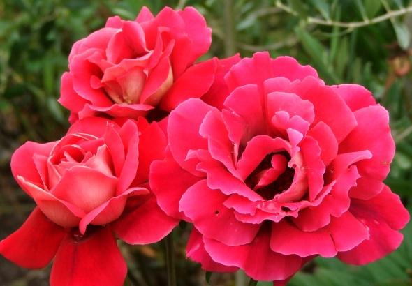 bright-cherry-rose