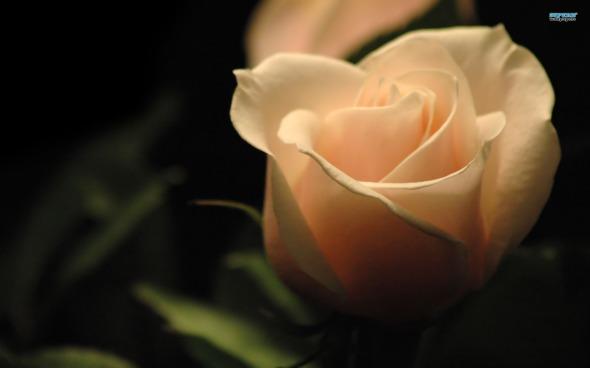 white-rose-photos-1552134081