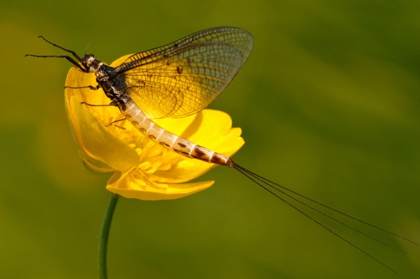 mayfly-female
