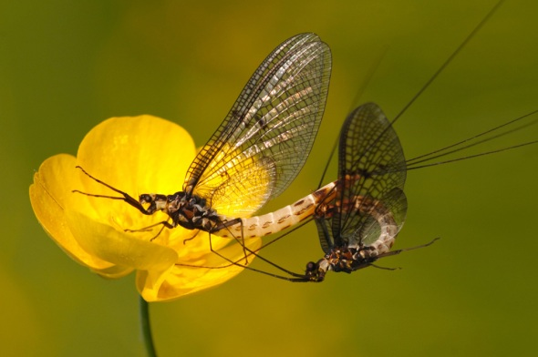 mayfly-pair