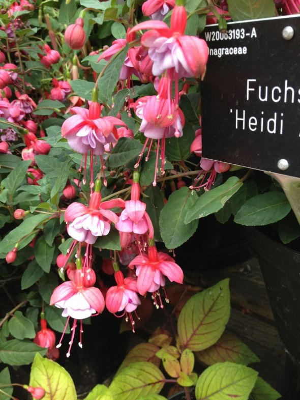 Fuchsia3
