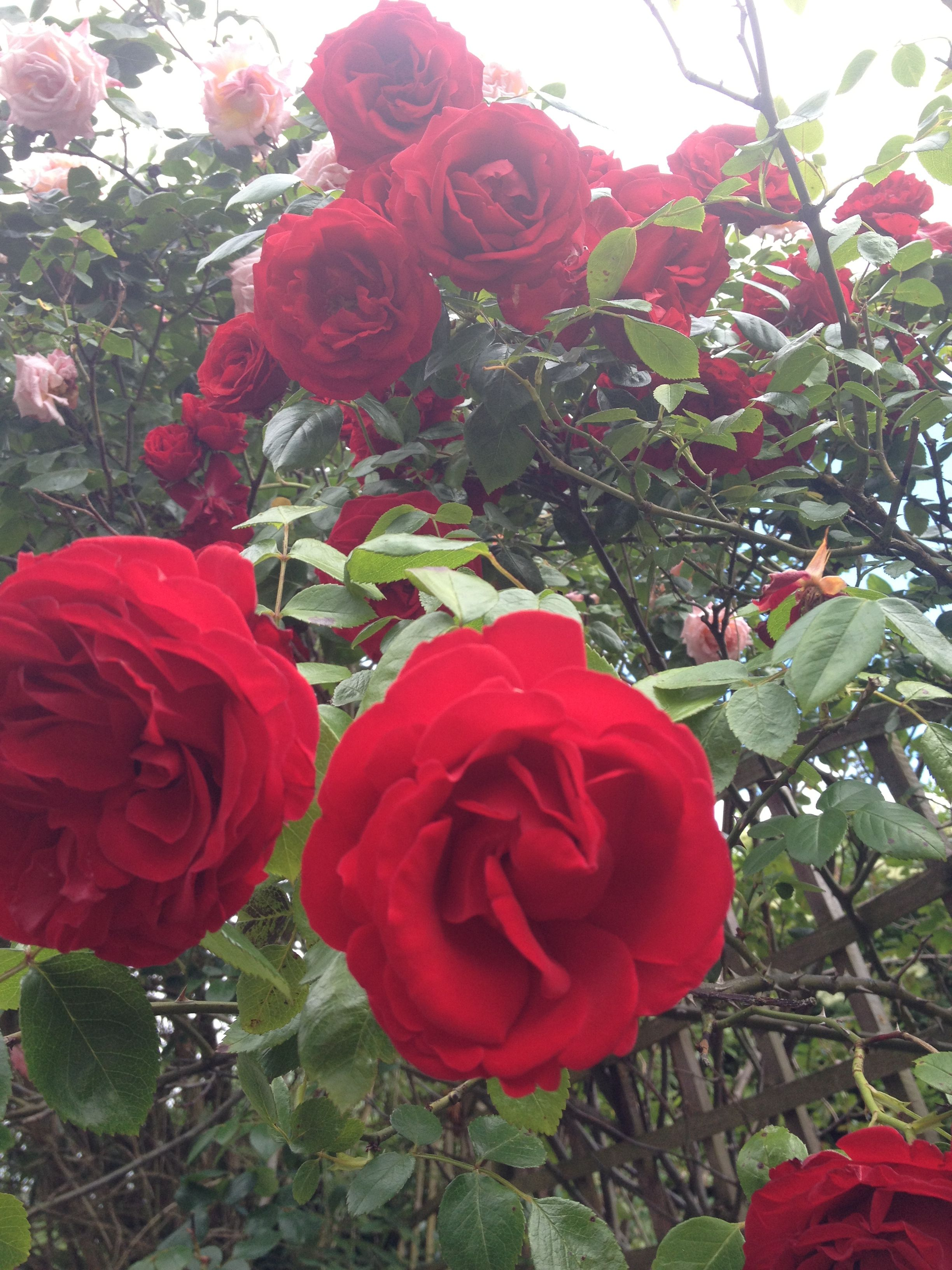 IMG_5001- roses red