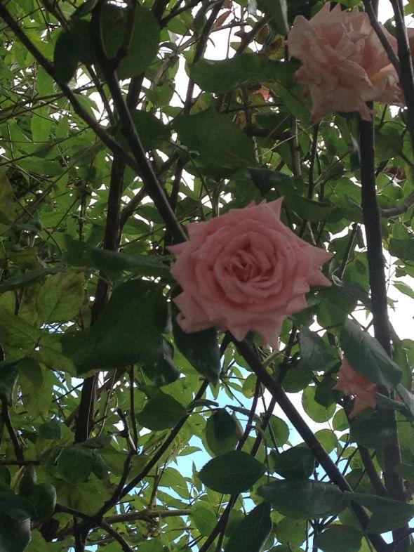 IMG_5002- rose pink