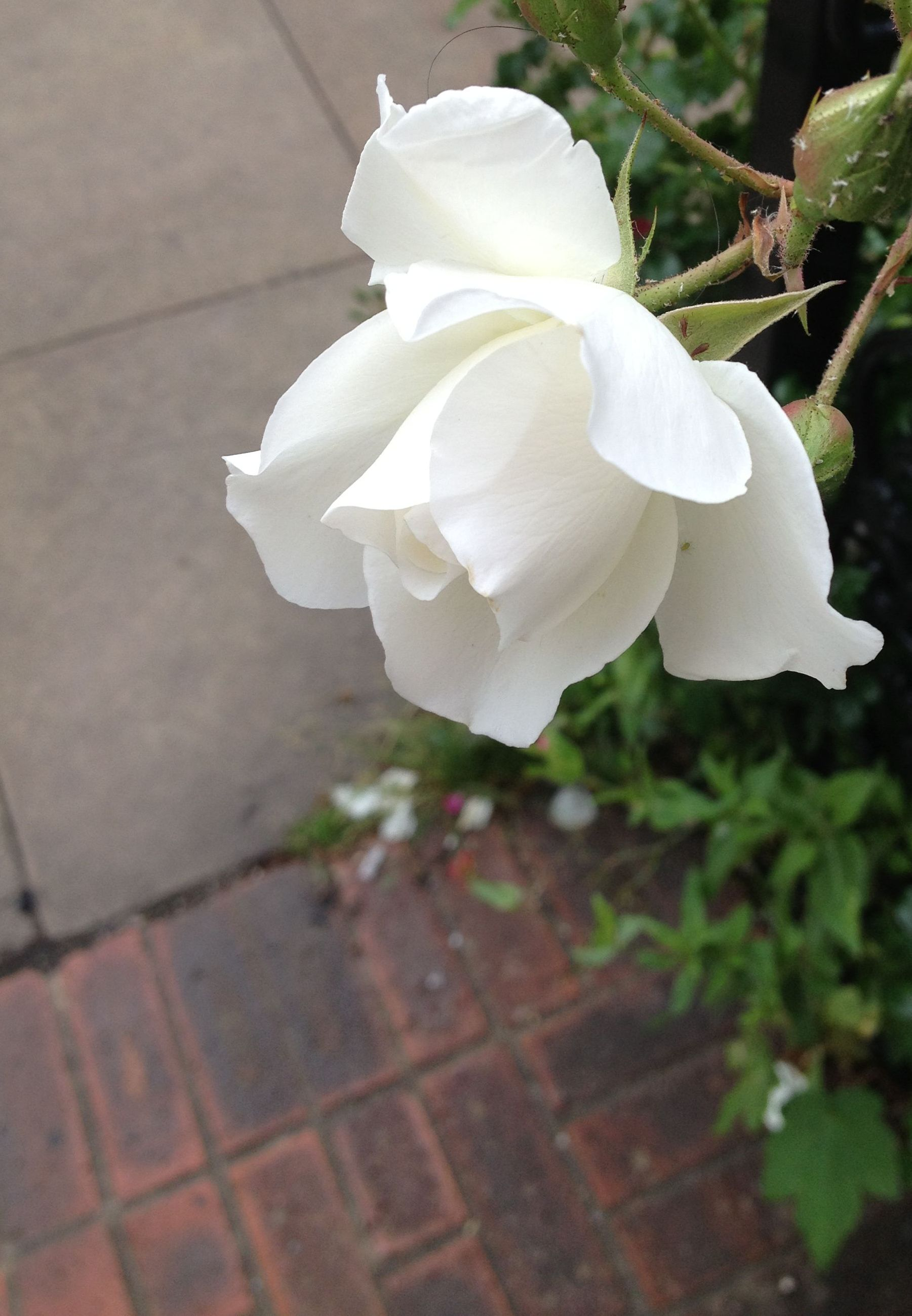 IMG_5013- rose white