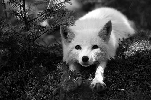 animal-blackampwhite-cute-fox-Favim.com-299682